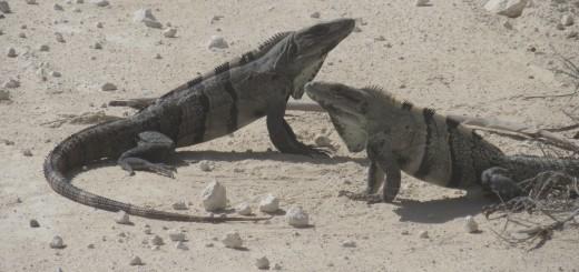 fighting-iguanas